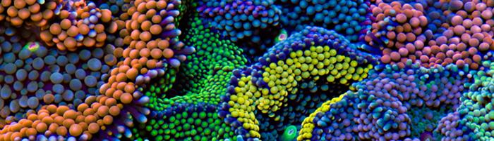 AQUASCAPERS | Live Cultured Corals